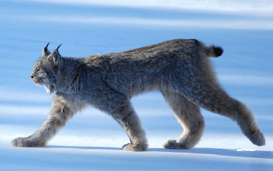 Groups Sue Over Critical Lynx Habitat