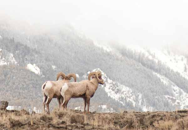 Bighorn-sheep-framed-against-mountains,--Montana--George-Wuerthner-0584