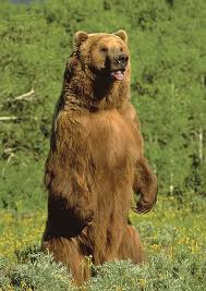 grizzly10