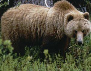 grizzly320W