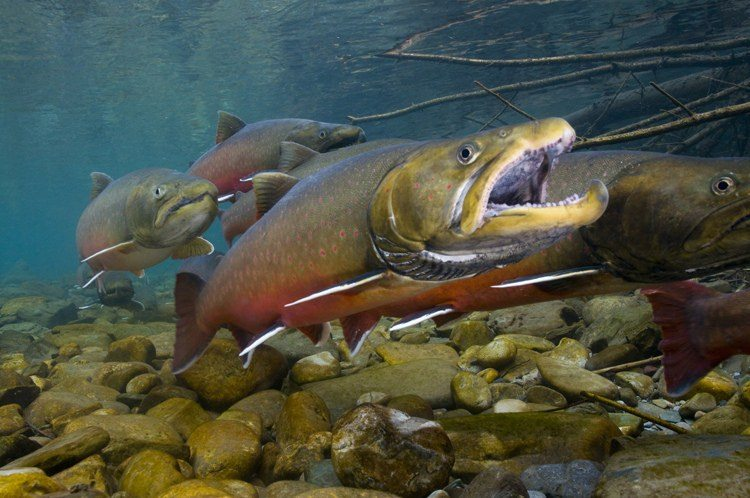 Conservation Groups Sue Feds over Bull Trout Recovery Plan
