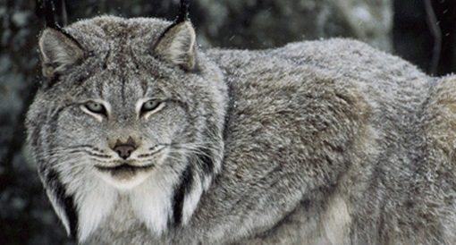 A Victory for the Lynx