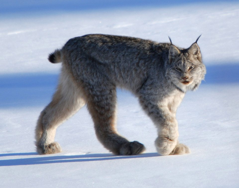 Judge Blocks Montana Logging Project in Canada Lynx Habitat