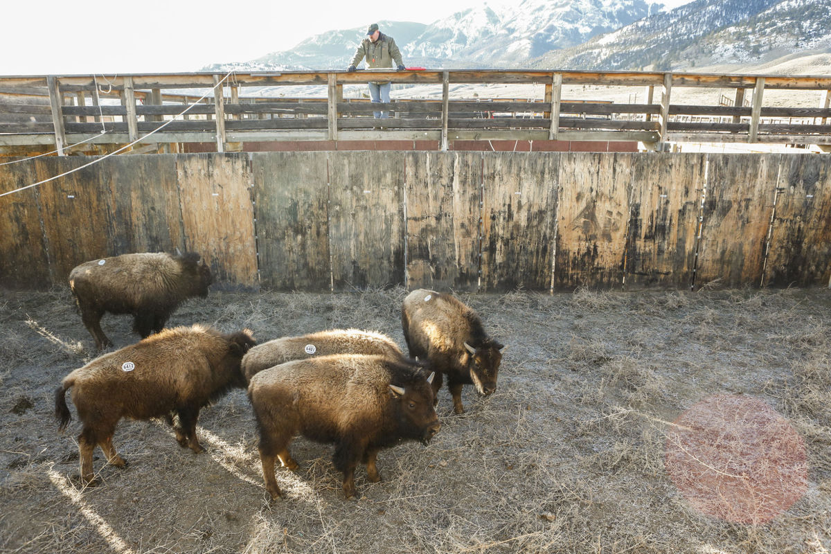 25 bison to be sent to Corwin Springs; slaughter to resume