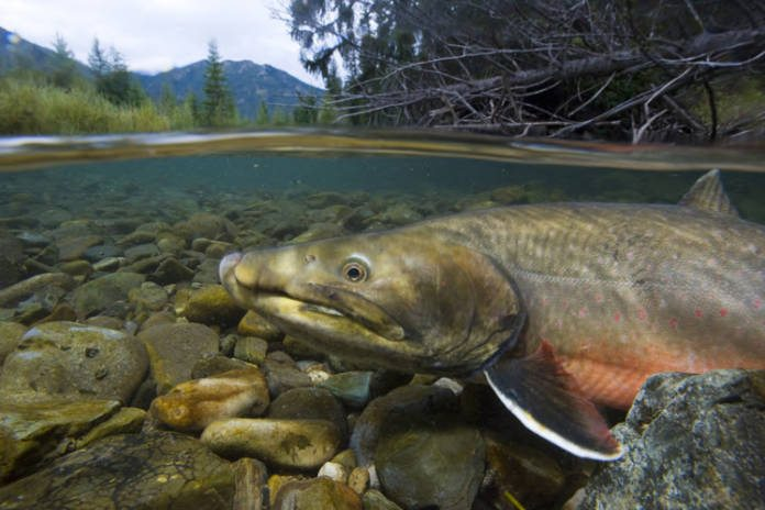 Alliance for the Wild Rockies Lawsuit Forces Federal Agencies to Consult on Dams in Bull Trout Critical Habitat