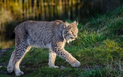 Federal District Court issues injunction stopping Stonewall Timber sale that threatens lynx habitat