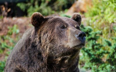 Rocky Mountain Groups to Challenge Yellowstone Grizzly De-Listing