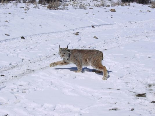 Delisting of lynx based on pending court date, not science