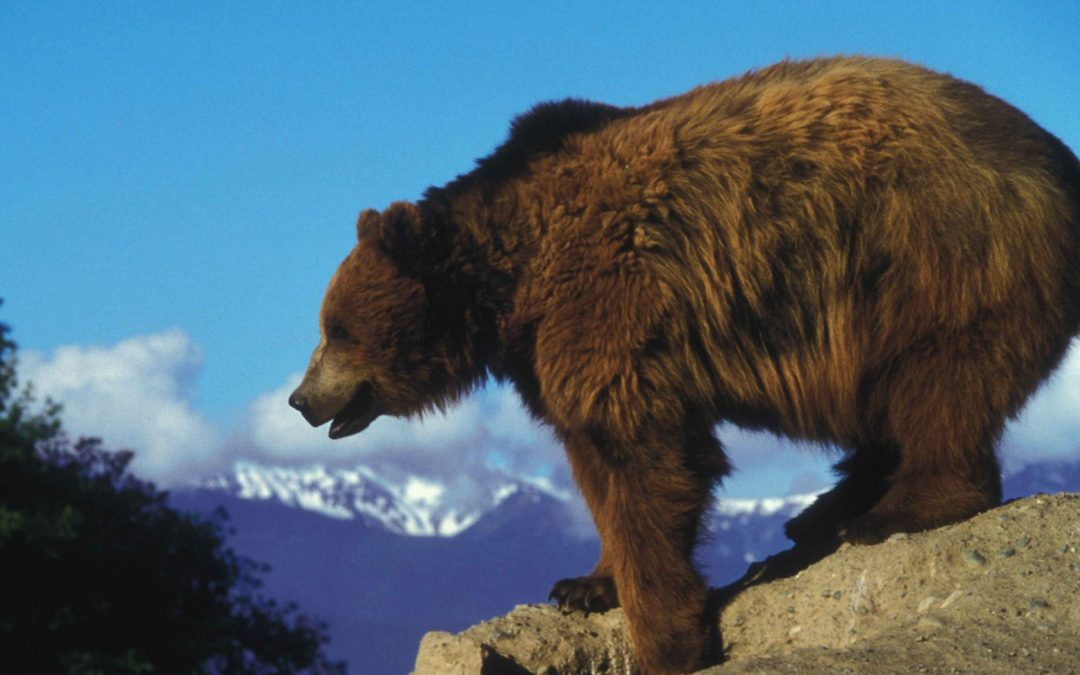 Why we need one connected grizzly bear population