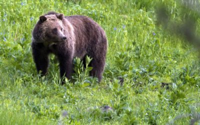 Judge extends order blocking grizzly hunt