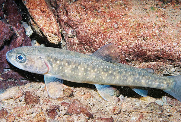 Alliance to Sue Trump Administration for Bull Trout fatalities