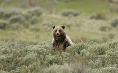 Alliance for the Wild Rockies Challange Killing of Yellowstone Grizzlies to Protect Wyoming Cows