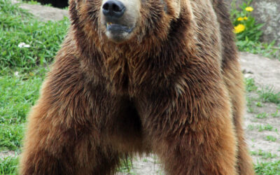 Roads Closed: a Big Win for Grizzlies in the Northern Rockies