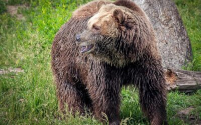 Court Denies State, Federal Bid to Strip Yellowstone Grizzlies of ESA Protections Tribes, Conservationists Win; States, Feds Lose