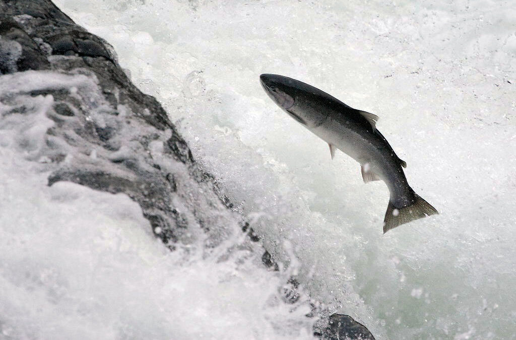 Conservation Groups Sue Trump Administration Massive Logging in Steelhead Critical Habitat