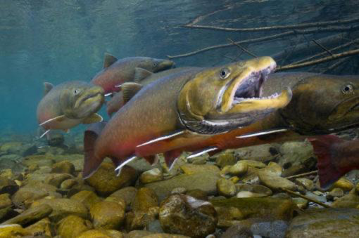 Trump Loses Again in Big Win for Bull Trout River and the ESA