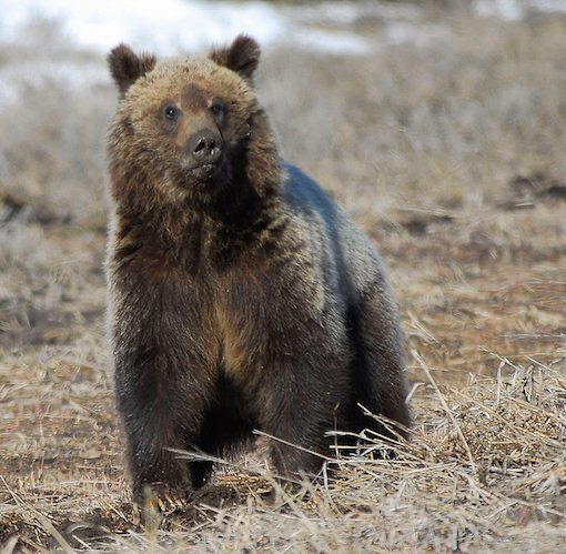 Alliance for the Wild Rockies Files Second Lawsuit to Stop North Idaho Logging in Grizzly Habitat