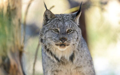 Why We're Suing to Stop the Forest Service From Clearcutting Lynx Habitat in Greater Yellowstone
