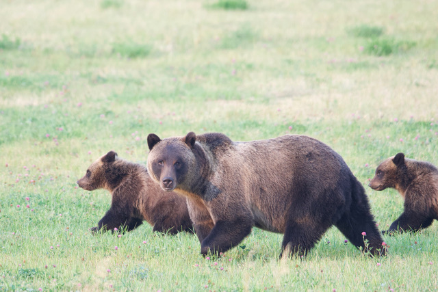 Protecting grizzly habitat